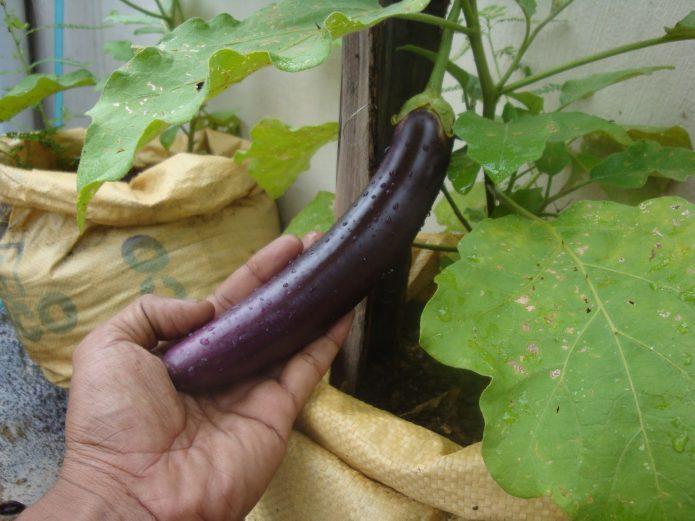Плодоношение баклажана