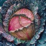 Савойская капуста Кружевница