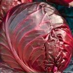 Краснокочанная капуста сорта Рубин МС
