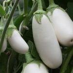 Баклажан сорта Вкус грибов