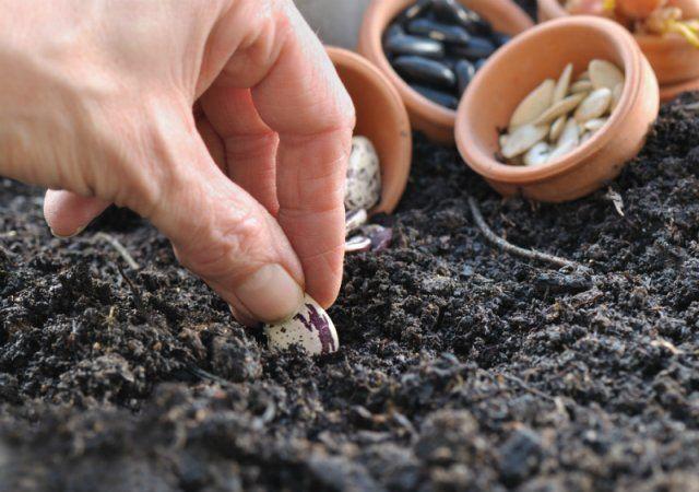 Посев бобов в грунт