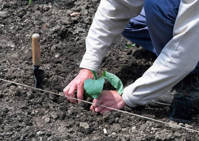 Высадка баклажанов в грунт