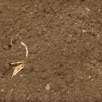 Саженцы спаржи засыпают землёй