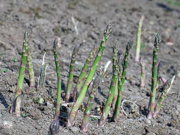 Куст спаржи весной