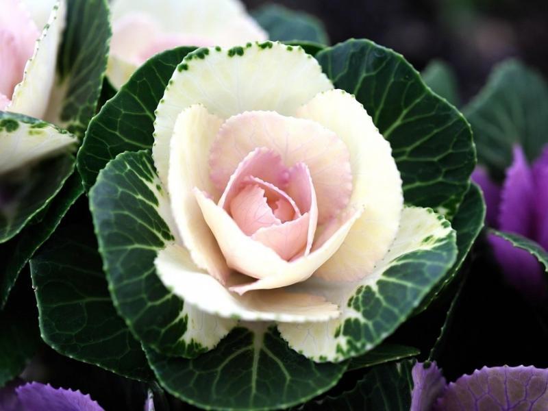 Декоративная капуста выращивание и уход, а также описание лучших сортов с характеристикой, фото и отзывами