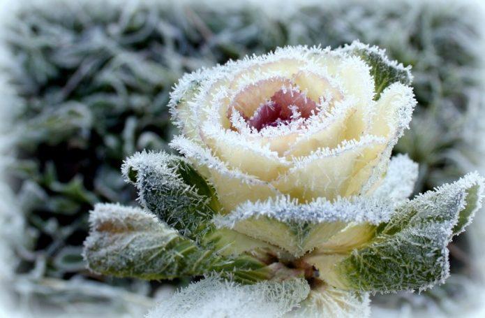 Декоративная капуста зимой