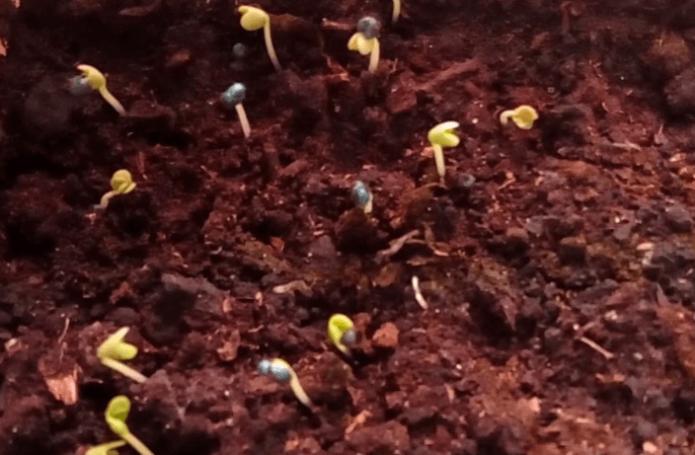 Всходы капусты