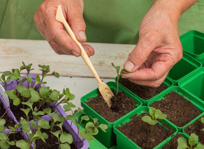 Пикировка капустной рассады