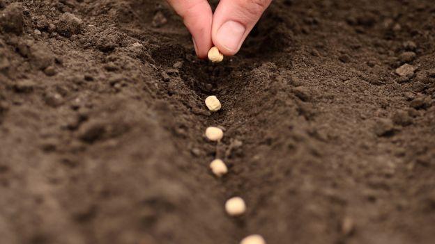 Посев бобов гороха на рассаду