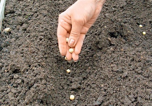 Посев гороха в грунт