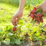 Сбор урожая редиса