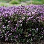 Цветущий тимьян