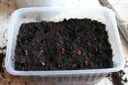 Посев ревеня на рассаду