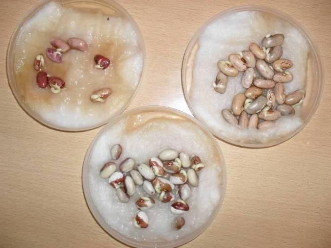 Семена фасоли на блюдечках