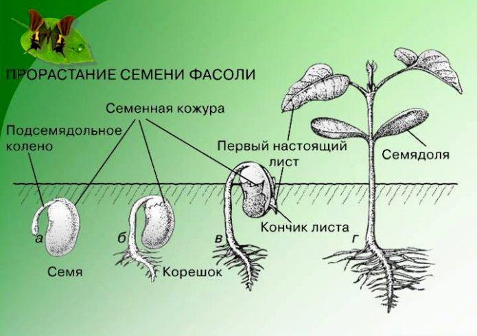 Схема прорастания семян фасоли