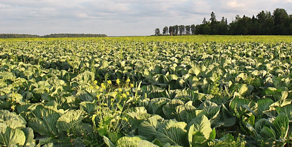 капустные поля