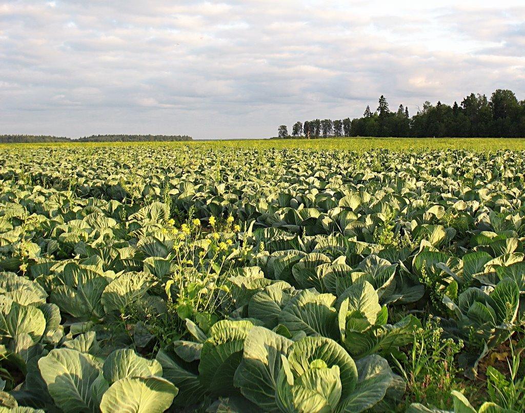 Капуста белокочанная - выращивание и уход, сорта капусты белокочанной с фото видео