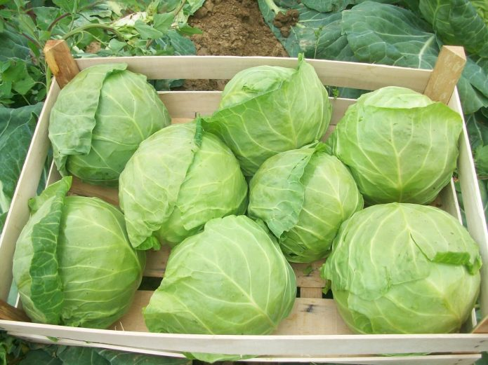Урожай ранней капусты