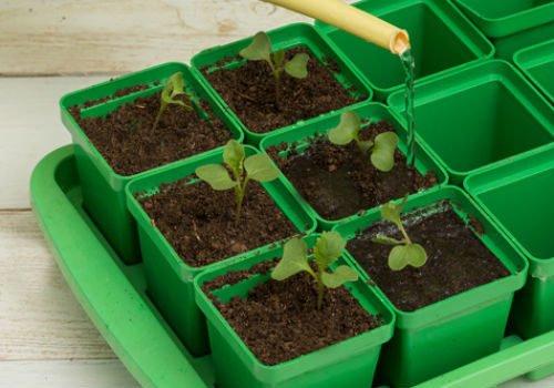 Полив капустной рассады