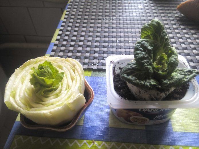 Выращивание нового растения из кочерыжки