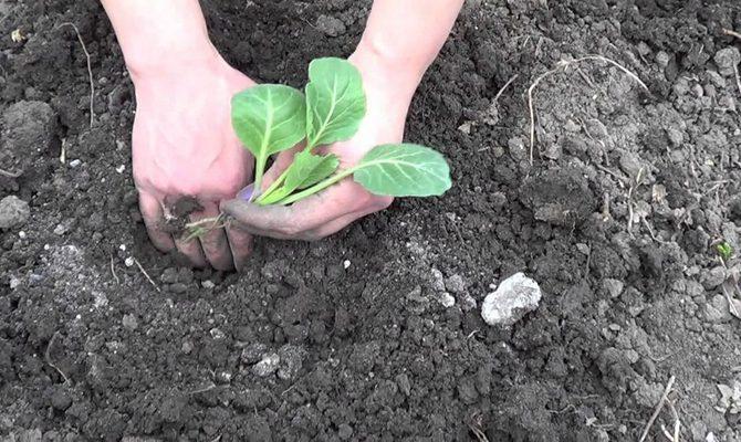 Высадка рассады капусты в огород