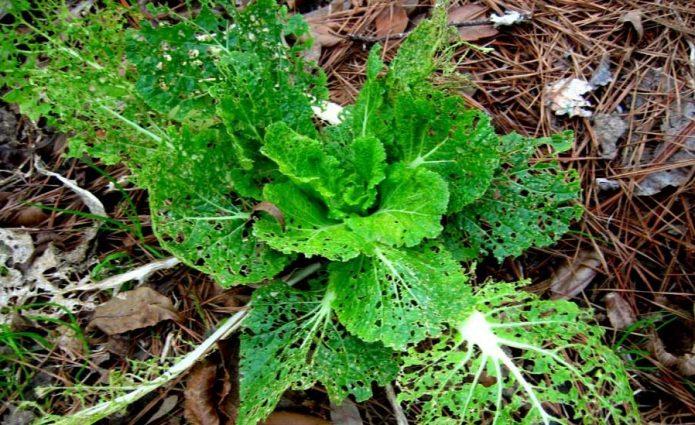 Крестоцветная блошка на растении