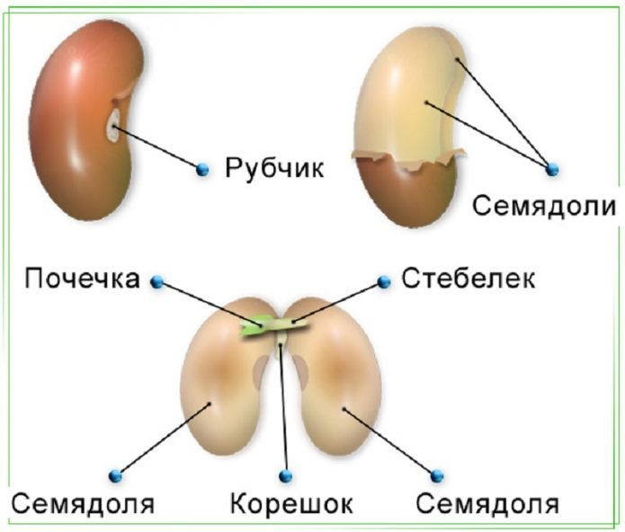 Семя фасоли