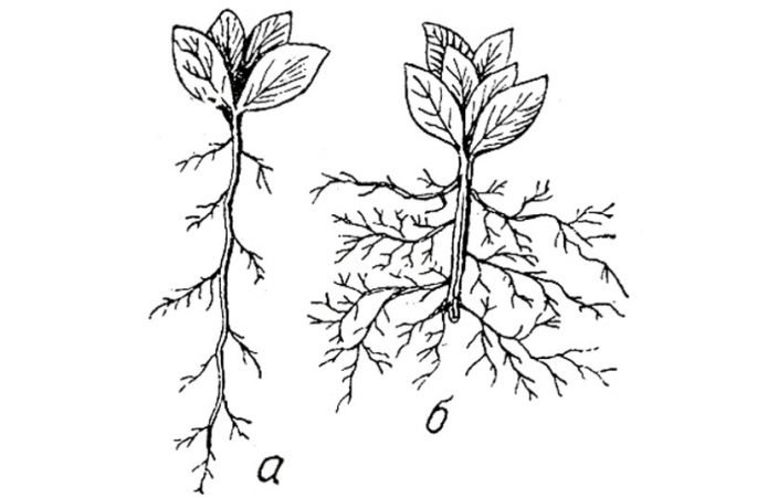 Прищипывание корня