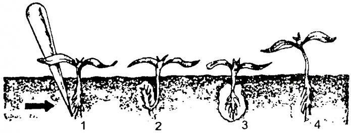 Ошибки при пикировке капусты