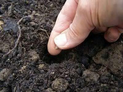 Посев капусты семенами в грунт