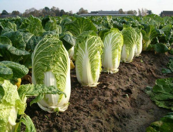 Китайская капуста — новичок наших огородов