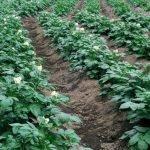 Картофельные посадки