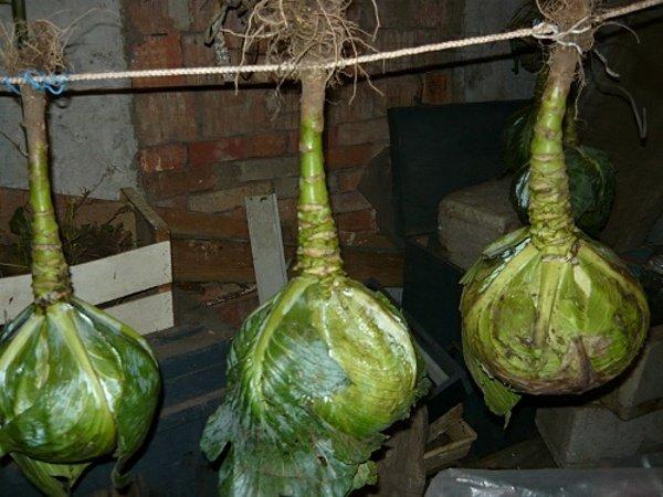 Способ хранения капусты