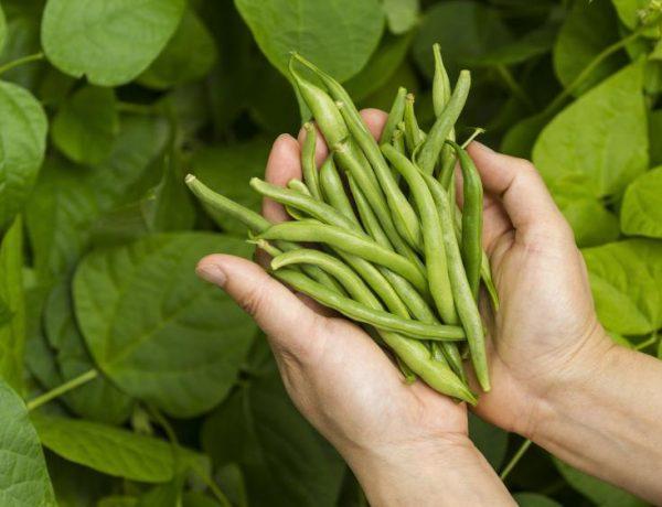 Как вырастить фасоль в открытом грунте, чтобы не остаться на бобах
