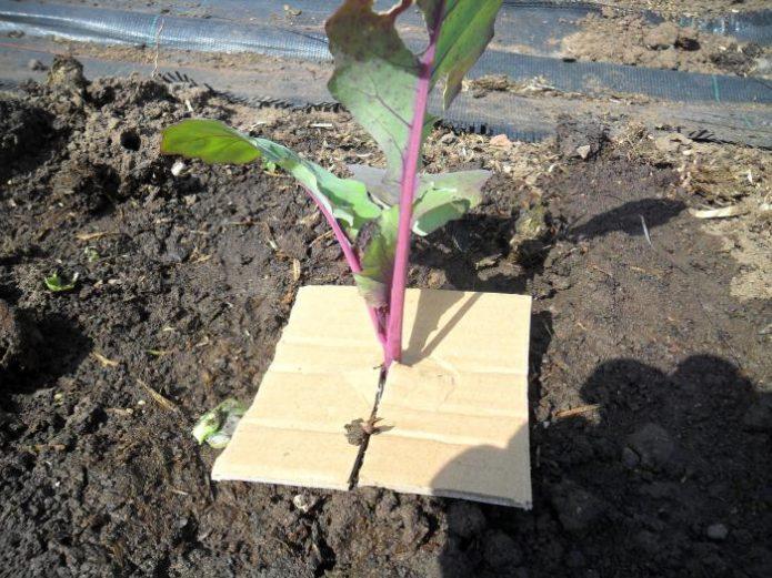 Лист картона в качестве защиты от капустной мухи