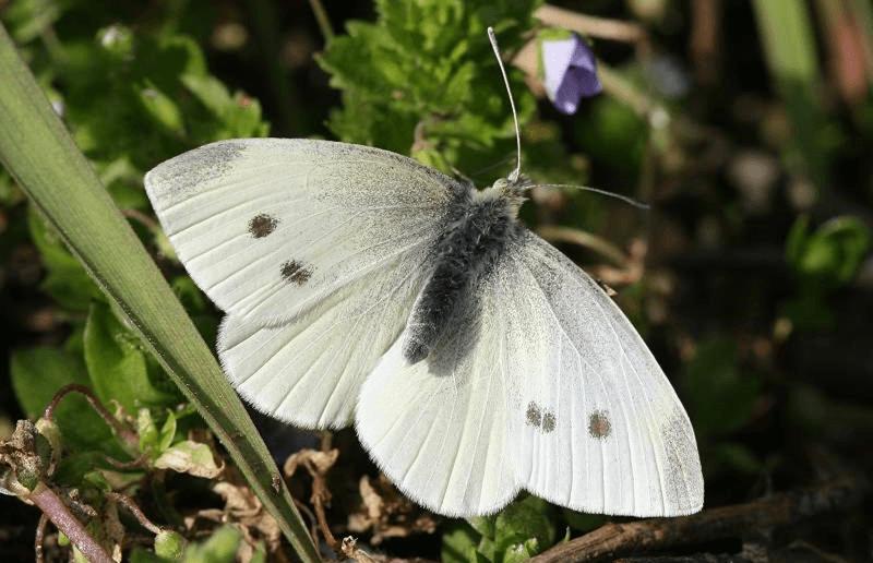 Бабочка капустной белянки