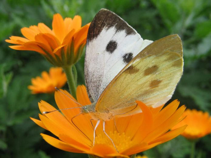 Капустница на цветке календулы