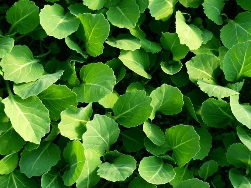 Какую капусту можно выращивать на подоконнике
