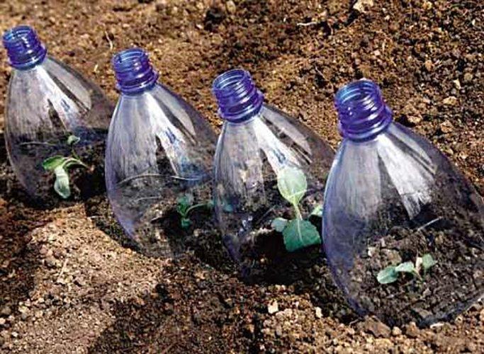 Всходы декоративной капусты под бутылками