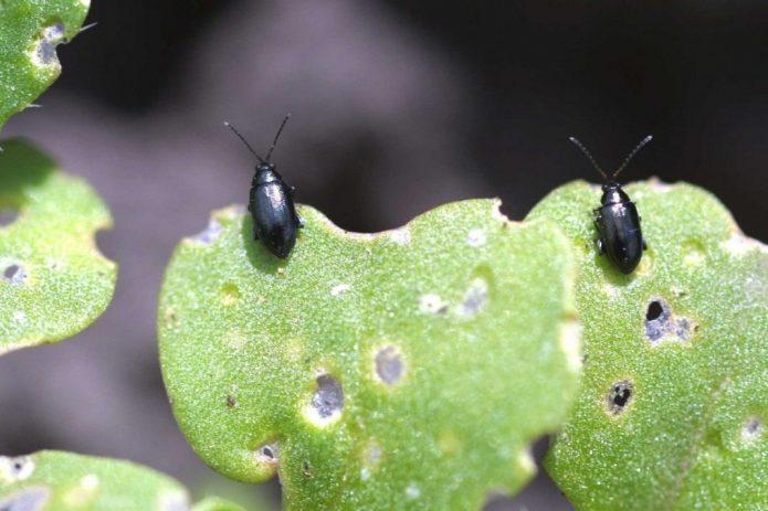 Посадка и уход за цветной капустой в открытом грунте