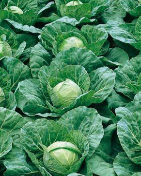 Сорт белокочанной капусты Пандион