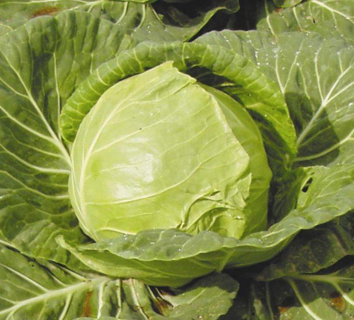 Сорт белокочанной капусты Июньская