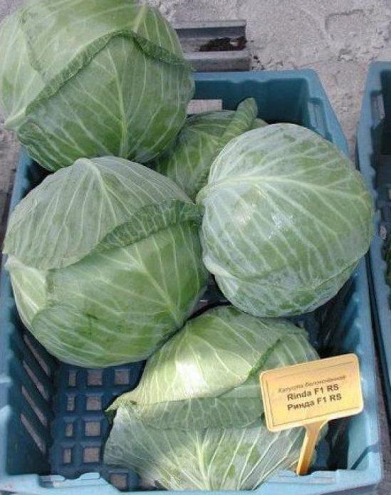 Сорт белокочанной капусты Ринда