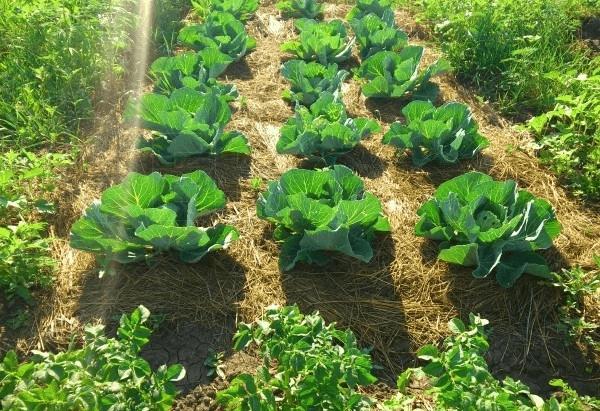 Мульчирование капусты
