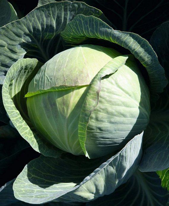 Сорт белокочанной капусты Циклон