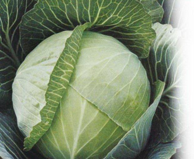 Сорт белокочанной капусты Крюмон