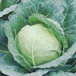 Сорт белокочанной капусты Вьюга