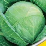 Сорт белокочанной капусты Белорусская 455