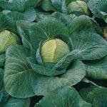 Сорт белокочанной капусты Краутман