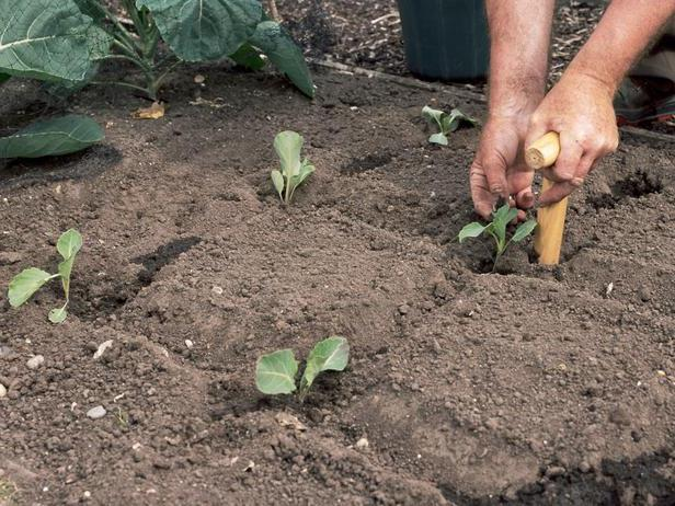 Высадка капусты в грунт